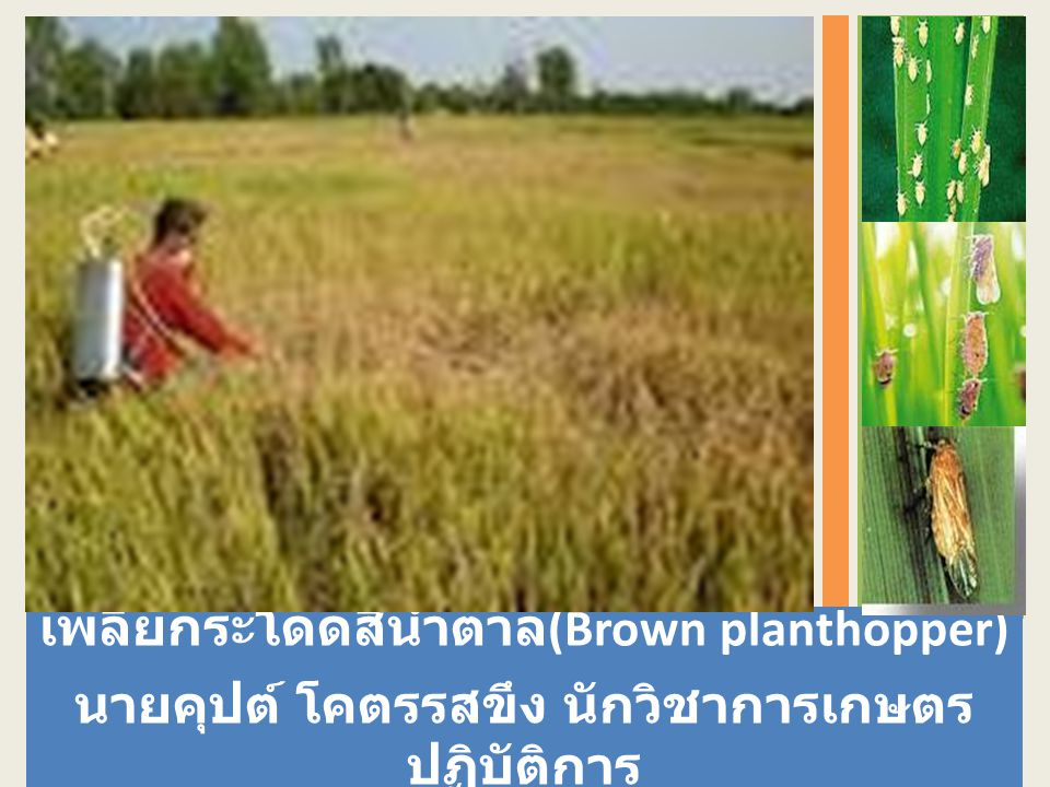 เพลี้ยกระโดดสีน้ำตาล(Brown planthopper)