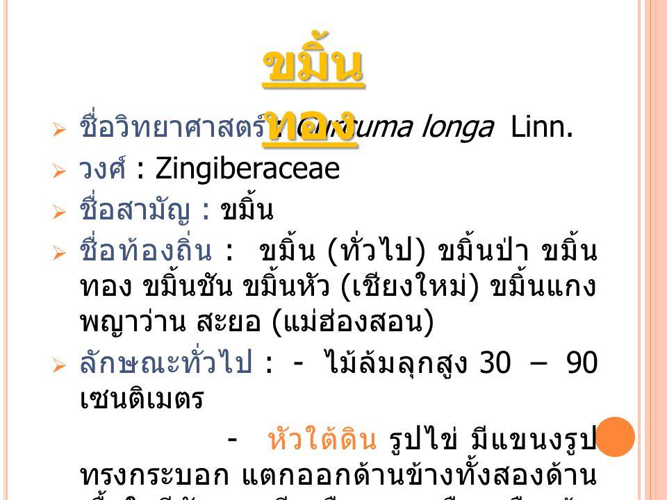 ขมิ้นทอง ชื่อวิทยาศาสตร์ : Curcuma longa Linn. วงศ์ : Zingiberaceae