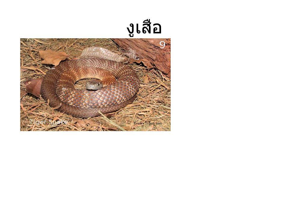 งูเสือ