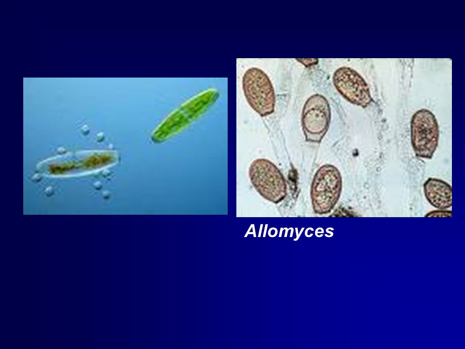 Allomyces