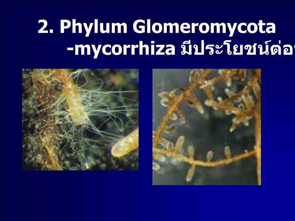 2. Phylum Glomeromycota -mycorrhiza มีประโยชน์ต่อพืช