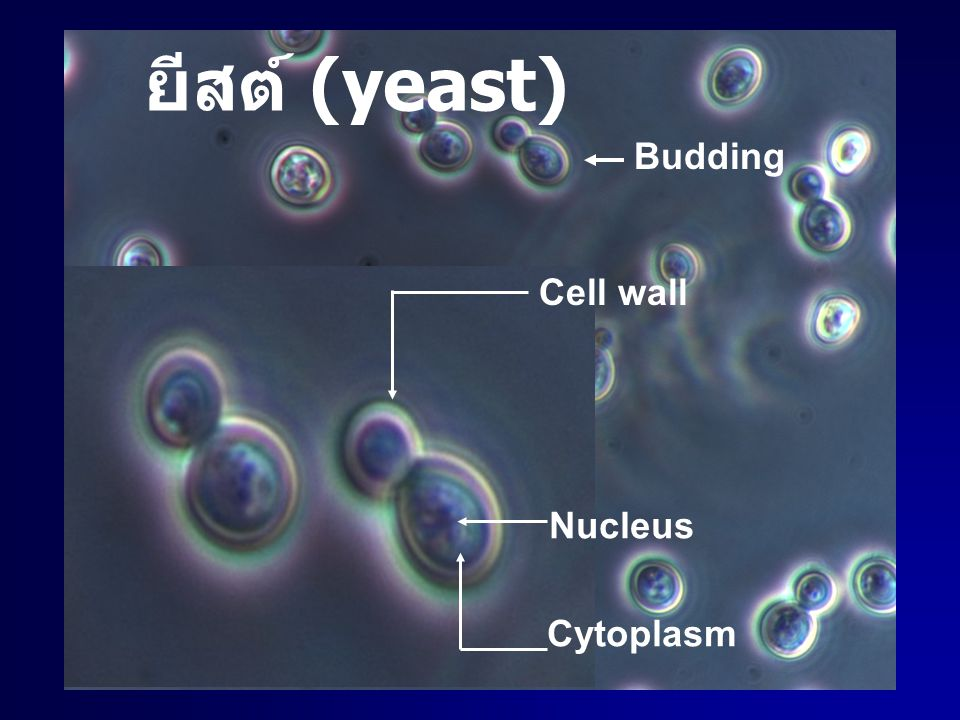 ยีสต์ (yeast) Budding Cell wall Nucleus Cytoplasm