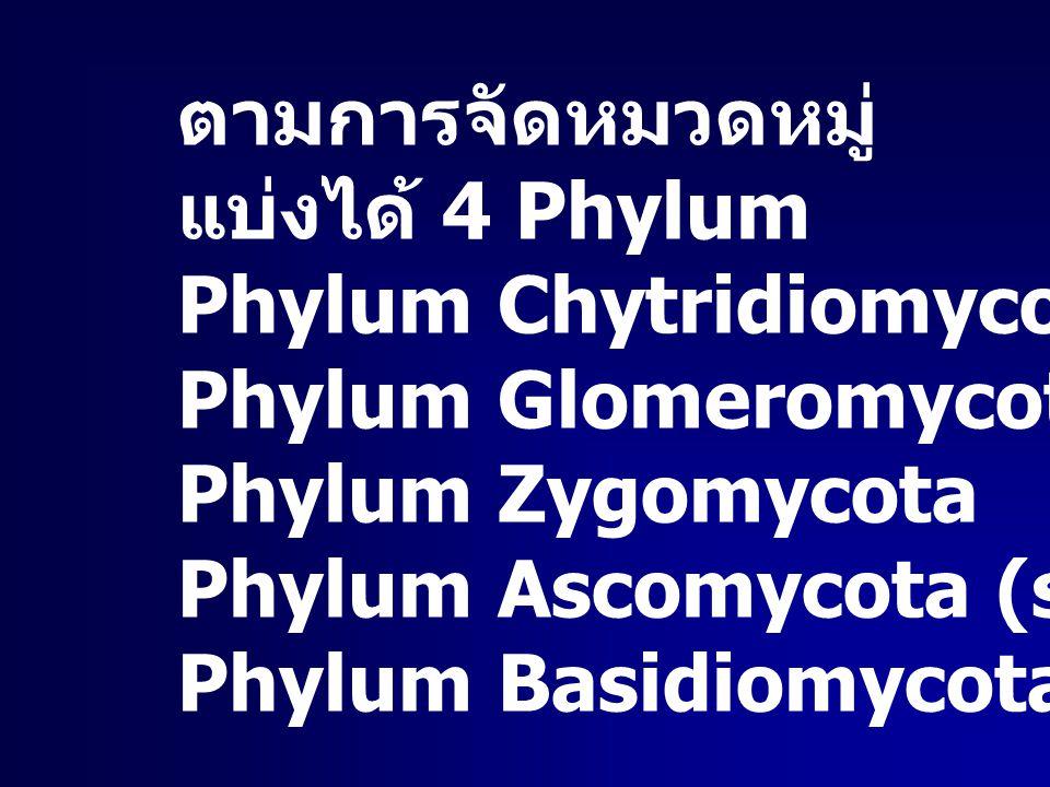 ตามการจัดหมวดหมู่ แบ่งได้ 4 Phylum. Phylum Chytridiomycota. Phylum Glomeromycota. Phylum Zygomycota.