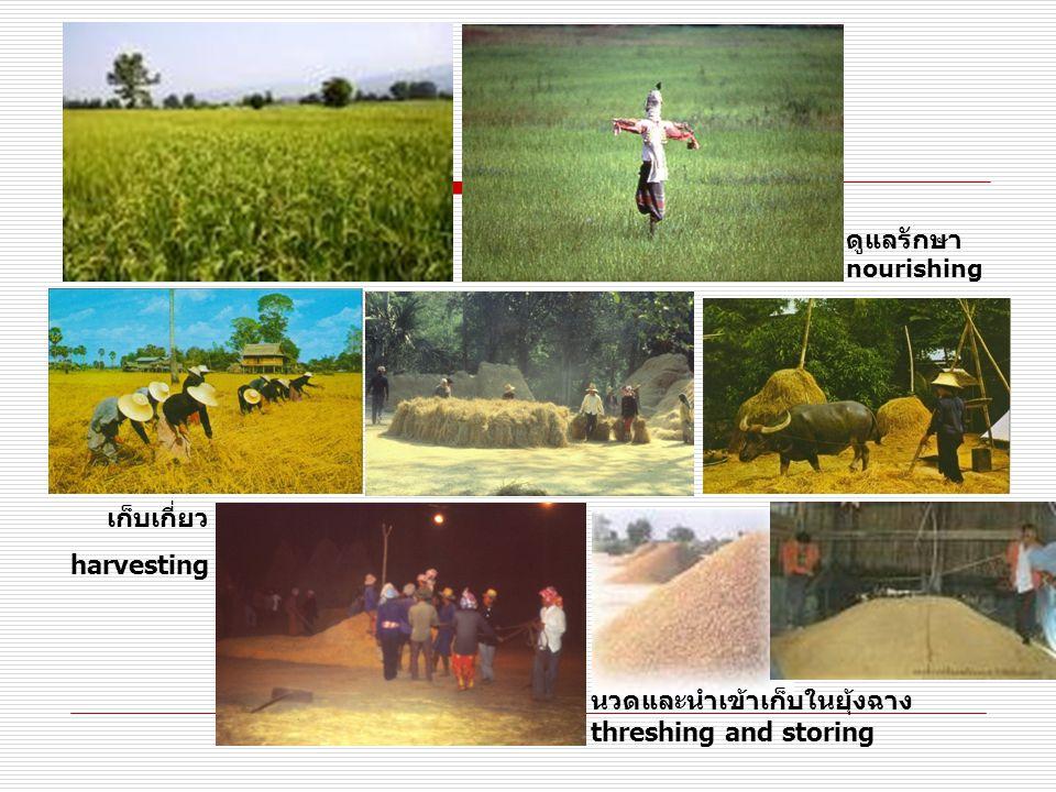 ดูแลรักษาnourishing เก็บเกี่ยว. harvesting.