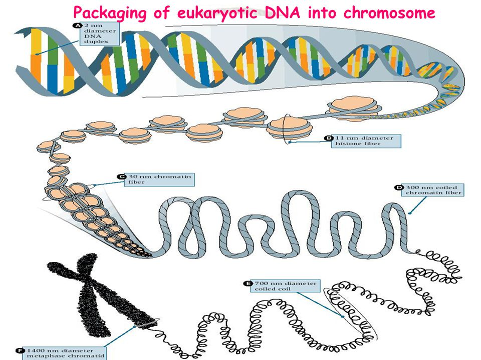 Packaging of eukaryotic DNA into chromosome