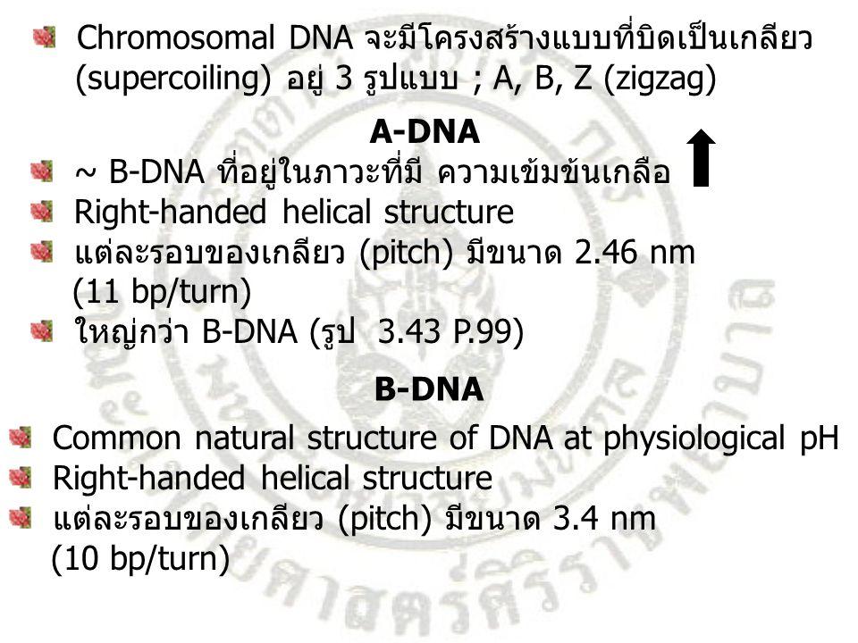 Chromosomal DNA จะมีโครงสร้างแบบที่บิดเป็นเกลียว