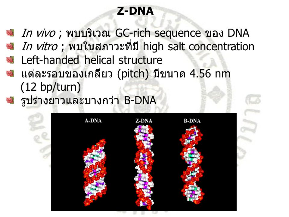 Z-DNA In vivo ; พบบริเวณ GC-rich sequence ของ DNA. In vitro ; พบในสภาวะที่มี high salt concentration.