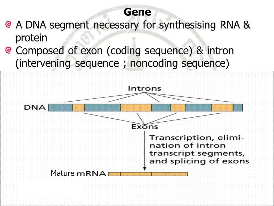 A DNA segment necessary for synthesising RNA & protein