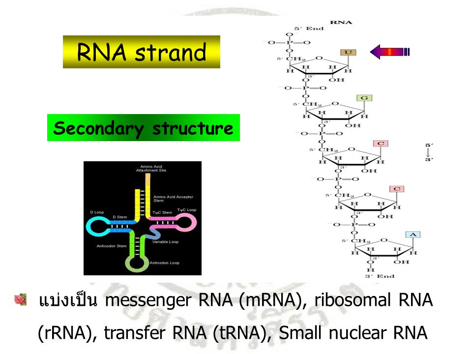 RNA strand Secondary structure