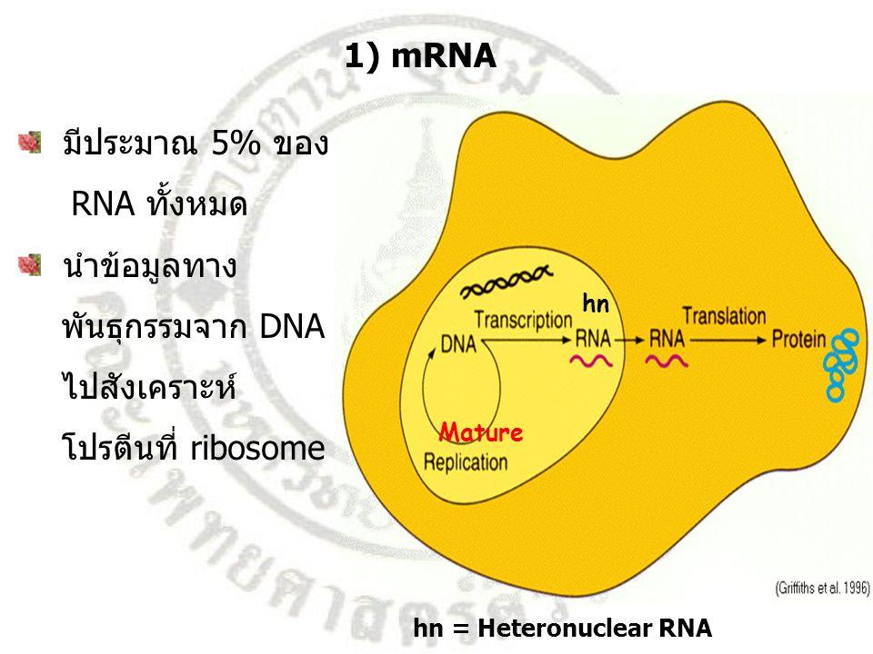 1) mRNA มีประมาณ 5% ของ RNA ทั้งหมด นำข้อมูลทาง พันธุกรรมจาก DNA