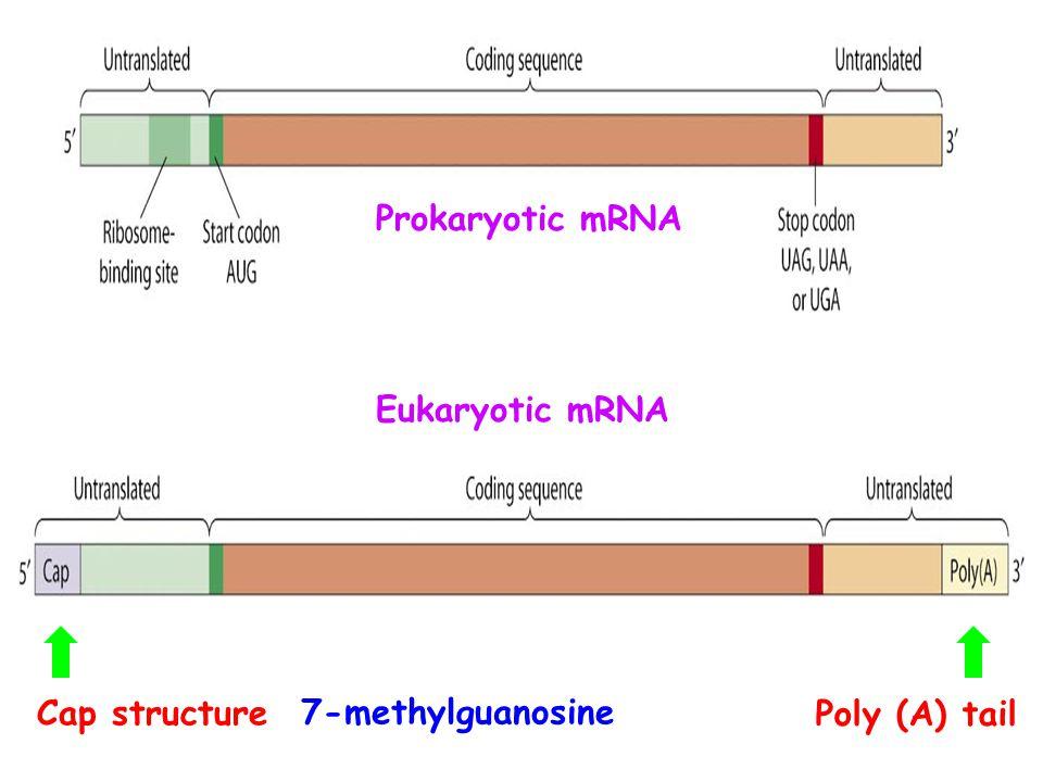 Prokaryotic mRNA Eukaryotic mRNA Cap structure 7-methylguanosine Poly (A) tail