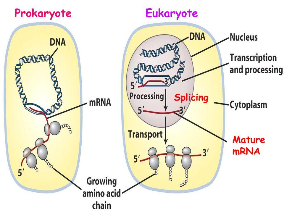 Prokaryote Eukaryote Splicing Mature mRNA