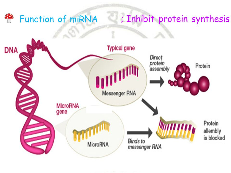 Function of miRNA ; Inhibit protein synthesis