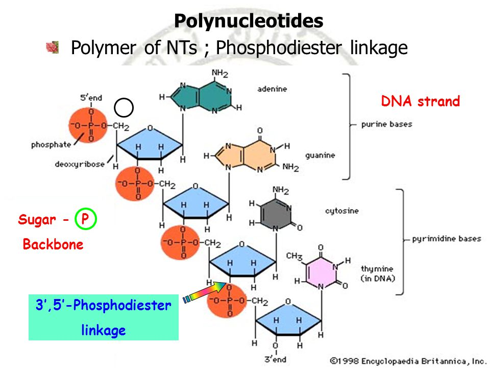 Polymer of NTs ; Phosphodiester linkage