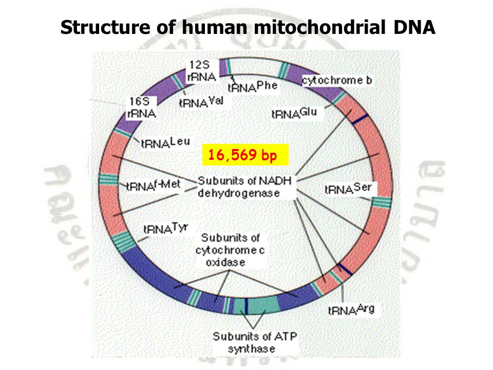 Structure of human mitochondrial DNA