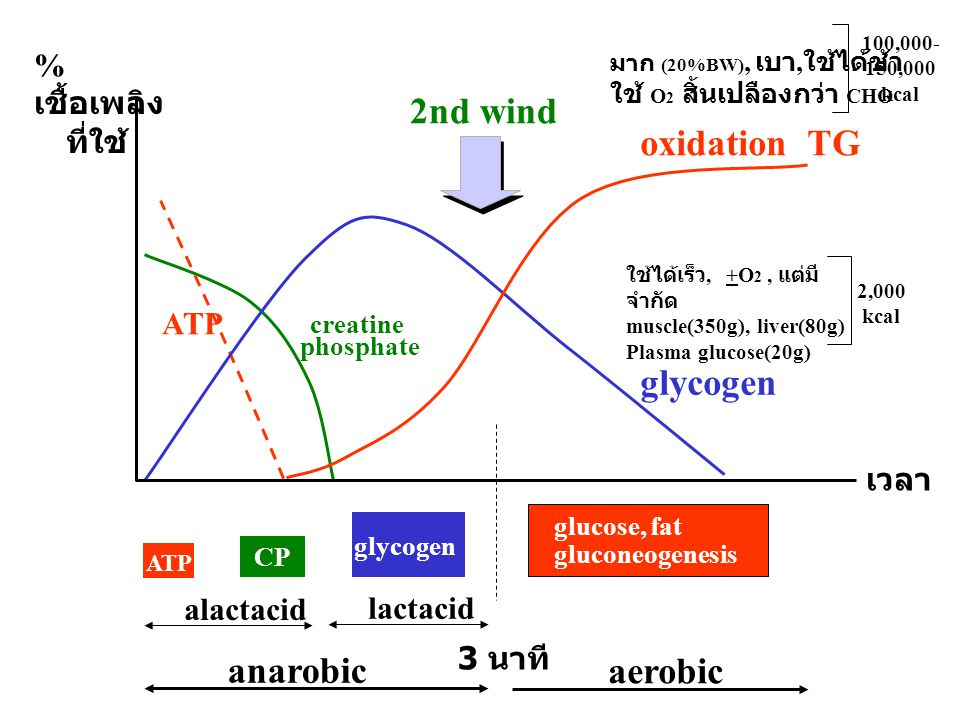 2nd wind oxidation TG glycogen anarobic aerobic %เชื้อเพลิง ที่ใช้ ATP