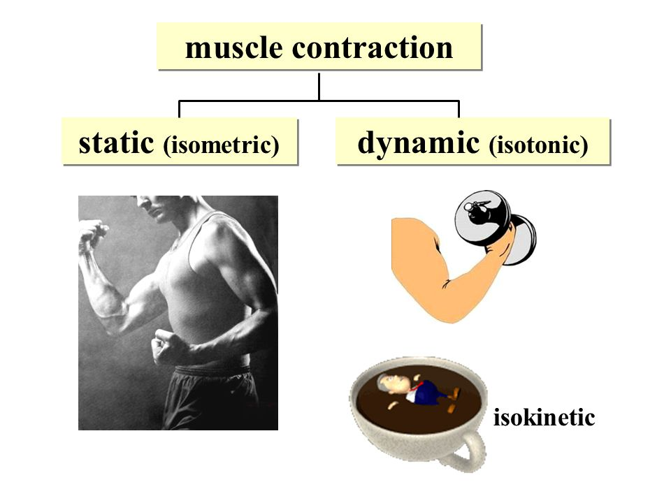 muscle contraction static (isometric) dynamic (isotonic)