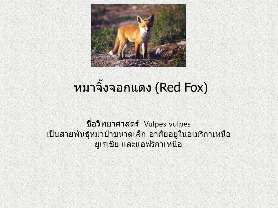 หมาจิ้งจอกแดง (Red Fox)