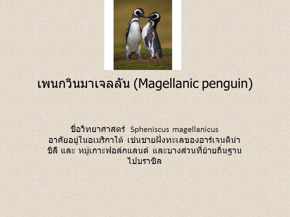 เพนกวินมาเจลลัน (Magellanic penguin)