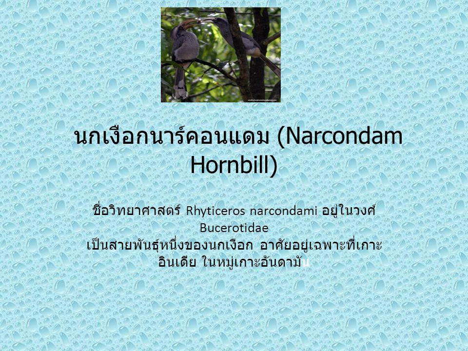 นกเงือกนาร์คอนแดม (Narcondam Hornbill)