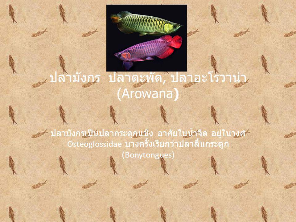 ปลามังกร ปลาตะพัด, ปลาอะโรวาน่า (Arowana)