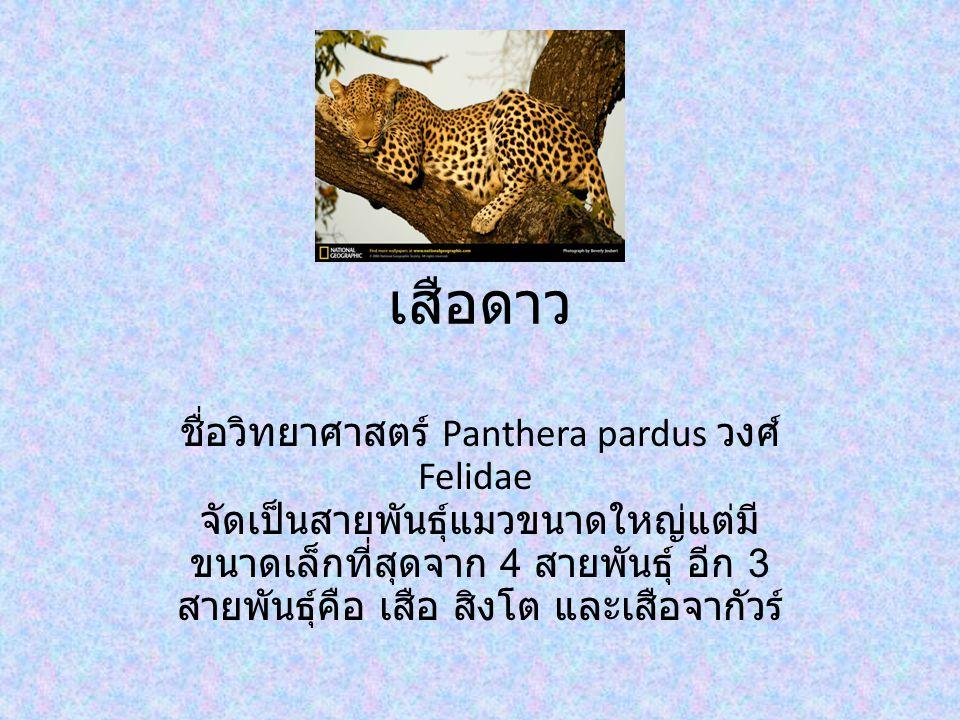 เสือดาว