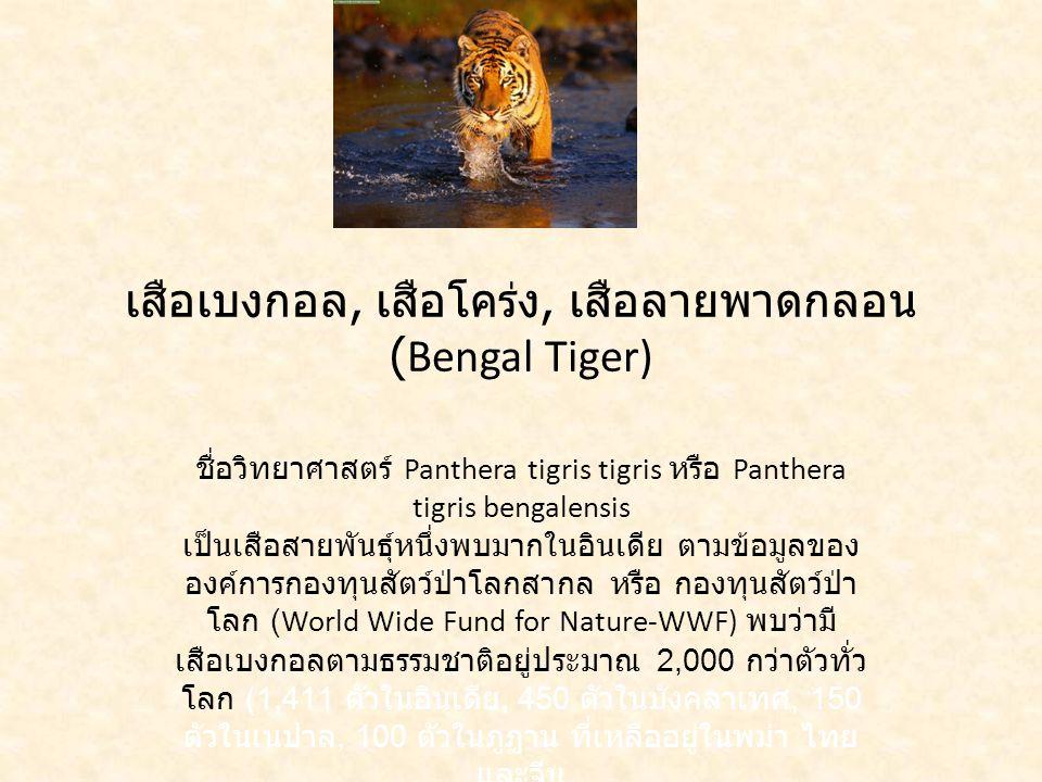 เสือเบงกอล, เสือโคร่ง, เสือลายพาดกลอน (Bengal Tiger)