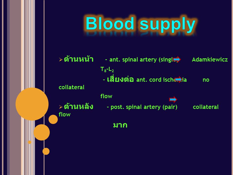 Blood supply ด้านหน้า - ant. spinal artery (single) Adamkiewicz