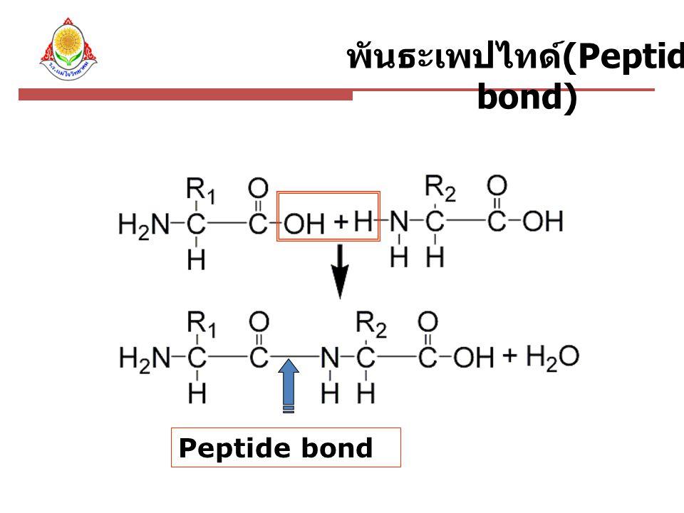 พันธะเพปไทด์(Peptide bond)