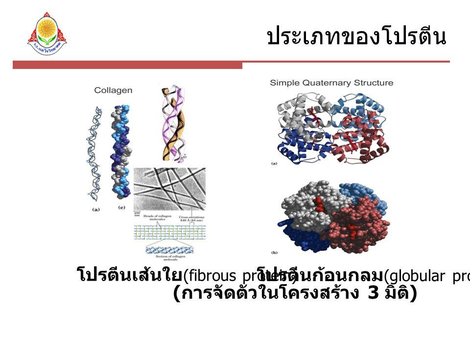 ประเภทของโปรตีน โปรตีนเส้นใย(fibrous protein)