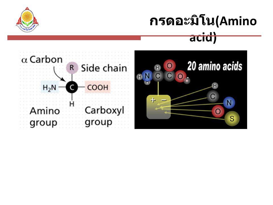 กรดอะมิโน(Amino acid)