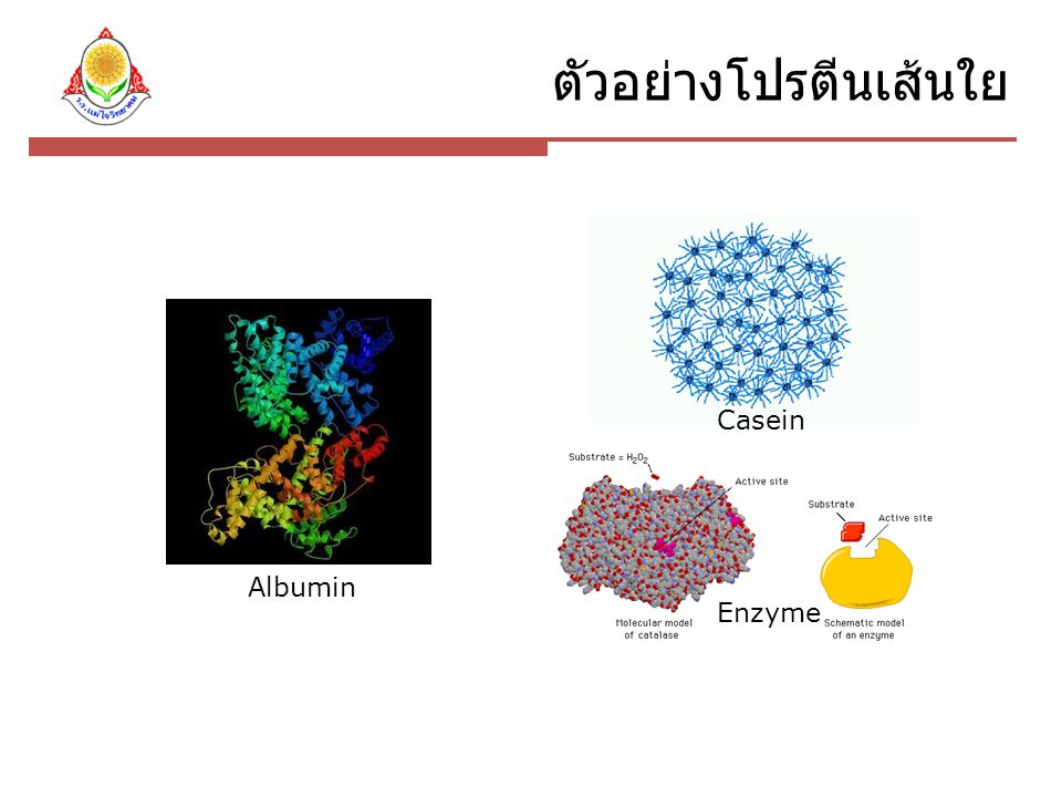ตัวอย่างโปรตีนเส้นใย