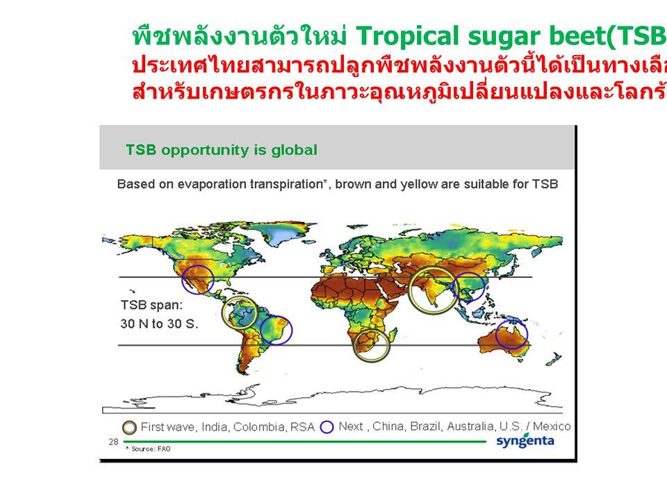 พืชพลังงานตัวใหม่ Tropical sugar beet(TSB)