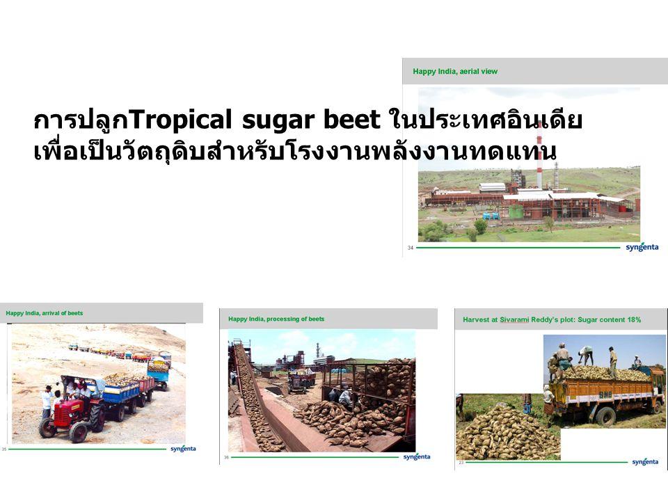 การปลูกTropical sugar beet ในประเทศอินเดีย