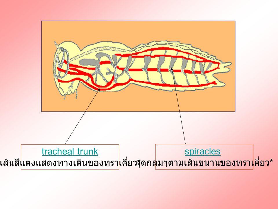 เส้นสีแดงแสดงทางเดินของทราเคี่ยว* spiracles