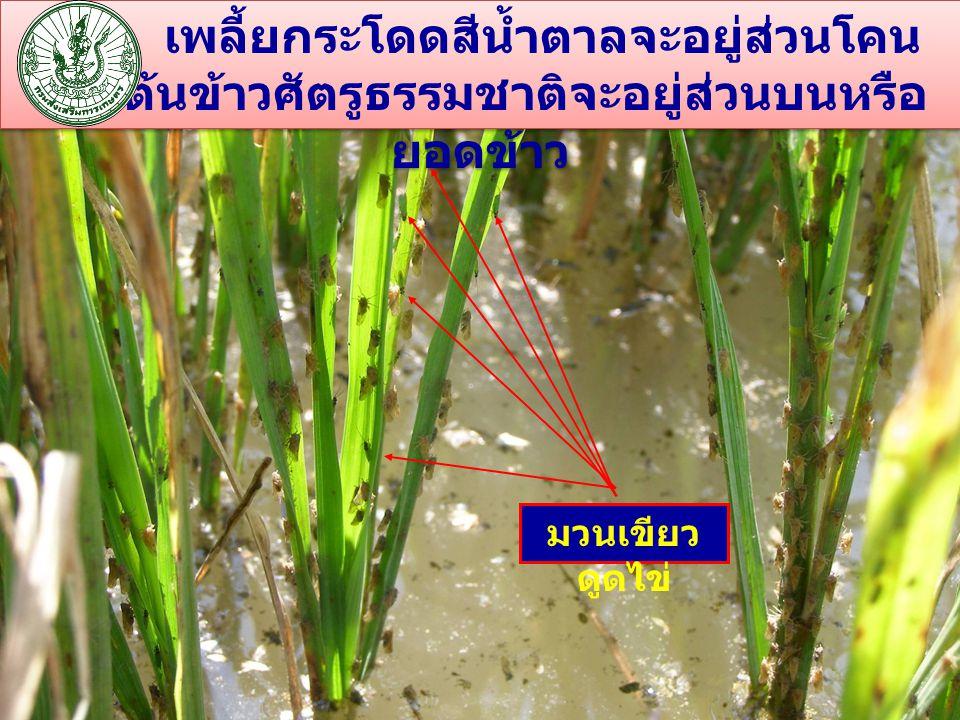เพลี้ยกระโดดสีน้ำตาลจะอยู่ส่วนโคนของต้นข้าวศัตรูธรรมชาติจะอยู่ส่วนบนหรือยอดข้าว