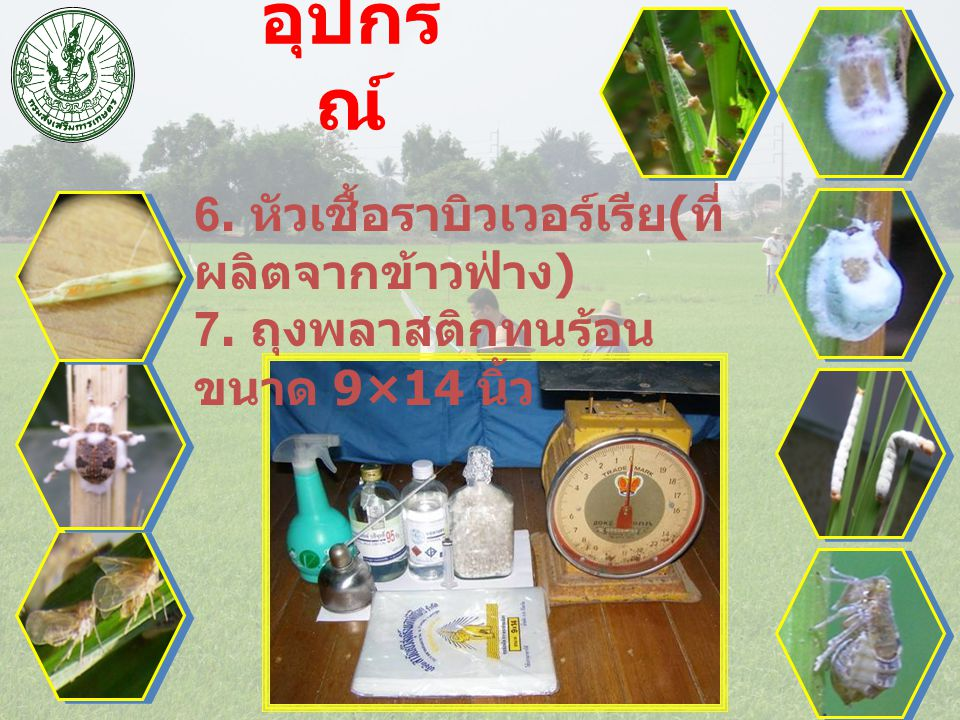 อุปกรณ์ 6. หัวเชื้อราบิวเวอร์เรีย(ที่ผลิตจากข้าวฟ่าง)