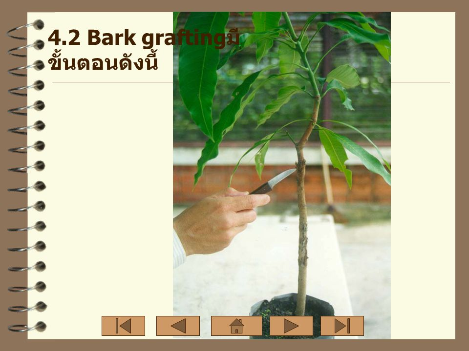 4.2 Bark graftingมีขั้นตอนดังนี้