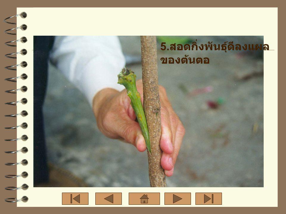 5.สอดกิ่งพันธุ์ดีลงแผลของต้นตอ