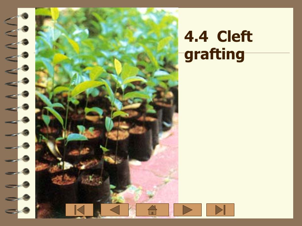 4.4 Cleft grafting