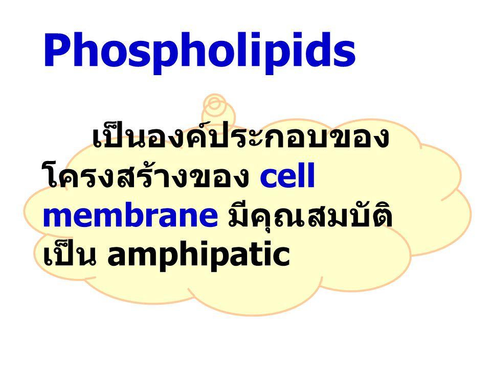 Phospholipids เป็นองค์ประกอบของโครงสร้างของ cell membrane มีคุณสมบัติเป็น amphipatic