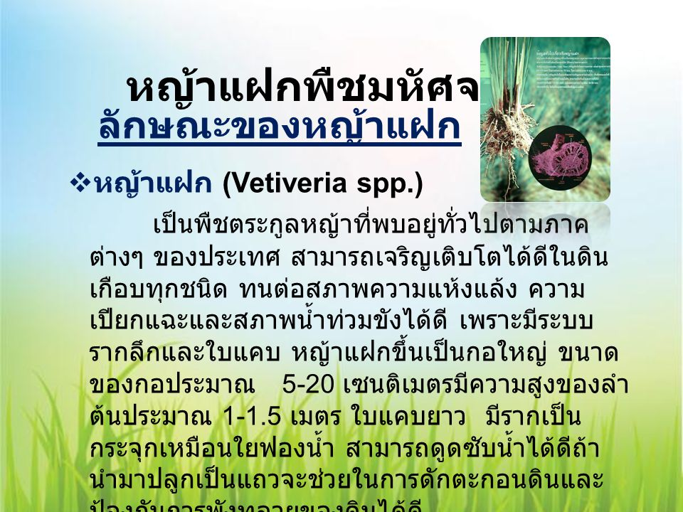 หญ้าแฝกพืชมหัศจรรย์ หญ้าแฝก (Vetiveria spp.)