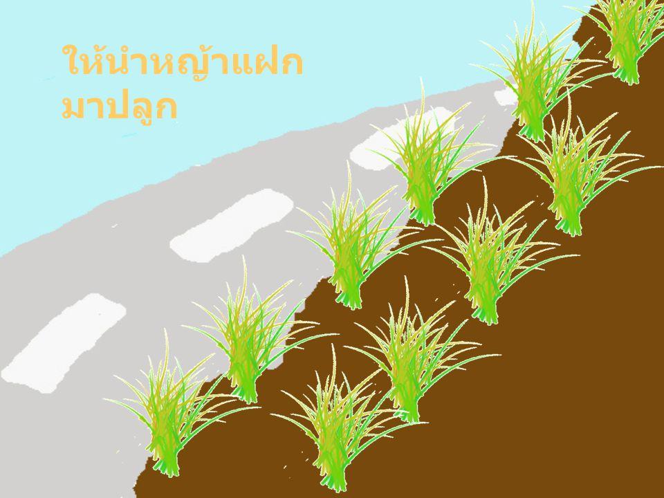 ให้นำหญ้าแฝกมาปลูก