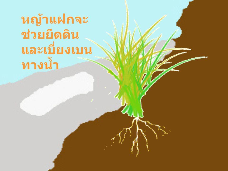 หญ้าแฝกจะช่วยยึดดินและเบี่ยงเบนทางน้ำ