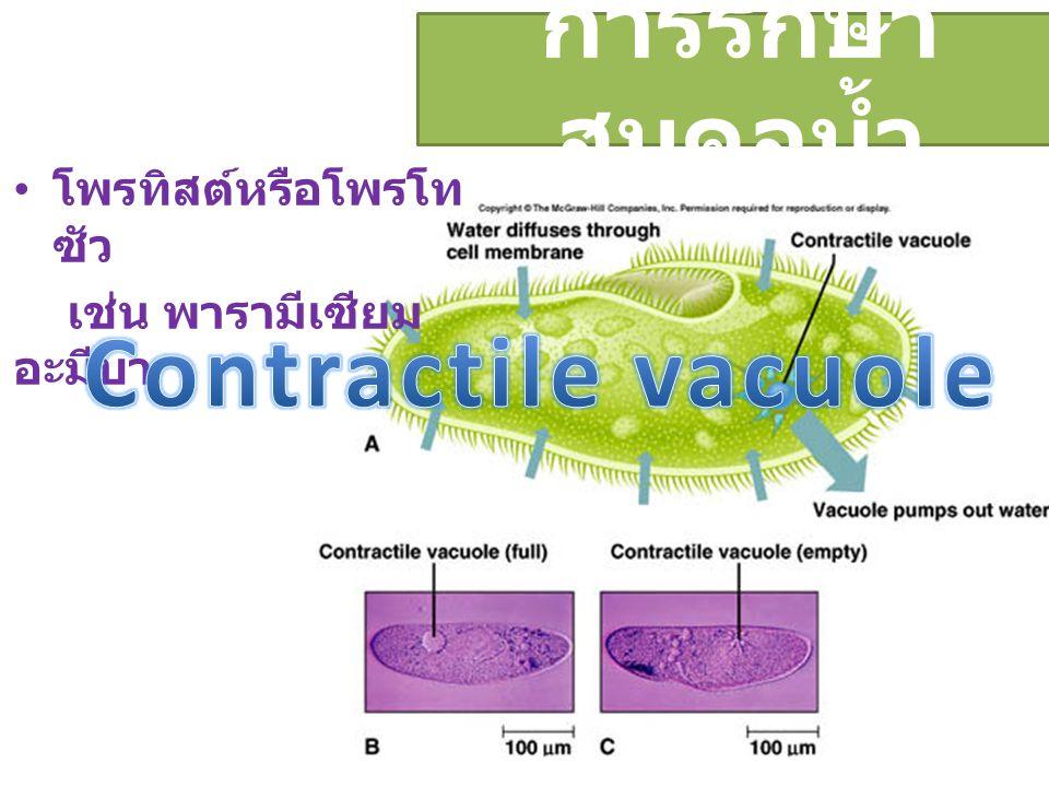 Contractile vacuole การรักษาสมดุลน้ำ โพรทิสต์หรือโพรโทซัว