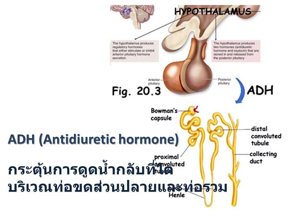 ADH (Antidiuretic hormone)