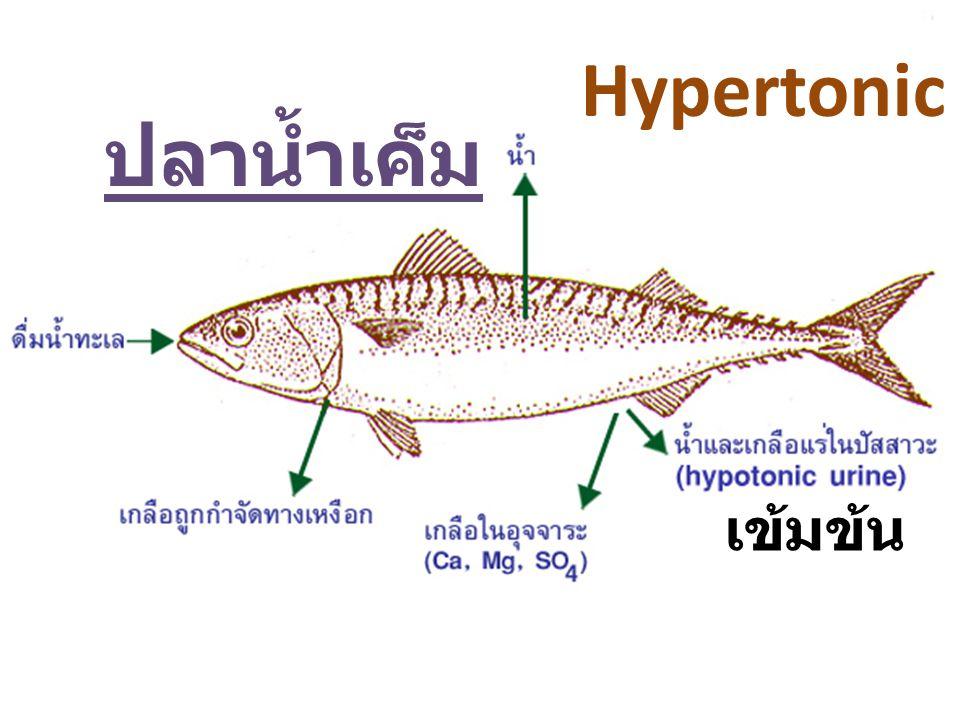 Hypertonic ปลาน้ำเค็ม เข้มข้น
