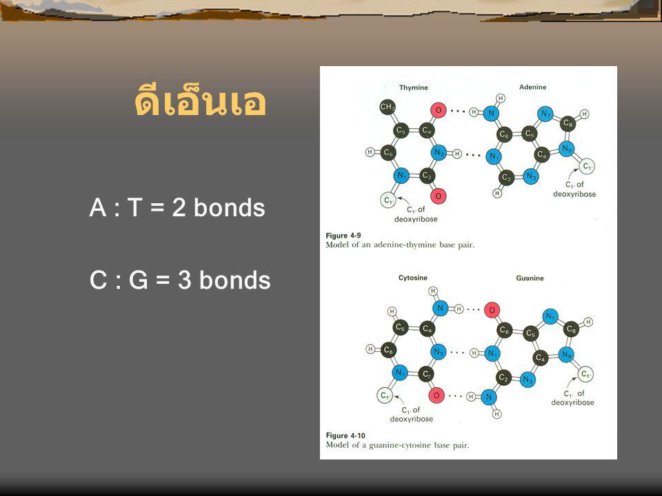 ดีเอ็นเอ A : T = 2 bonds C : G = 3 bonds