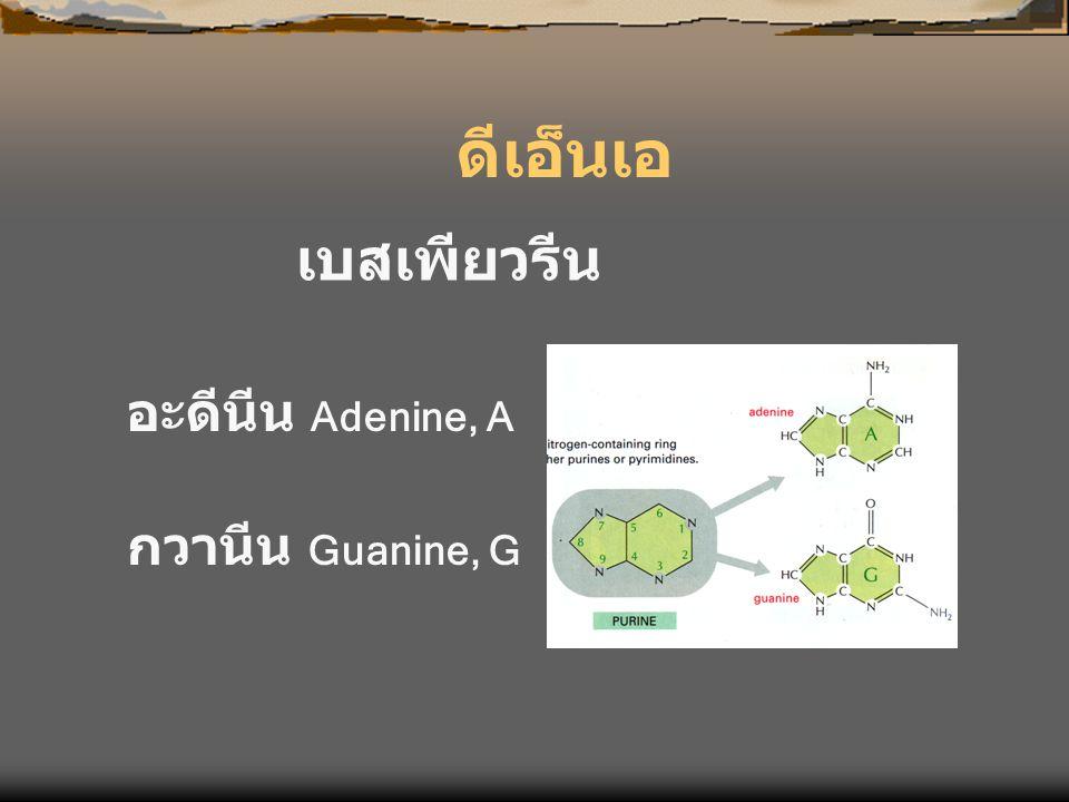 ดีเอ็นเอ เบสเพียวรีน อะดีนีน Adenine, A กวานีน Guanine, G
