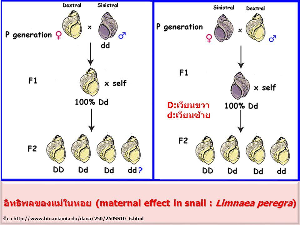 อิทธิพลของแม่ในหอย (maternal effect in snail : Limnaea peregra)